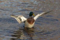 Grâce de canard Photo stock