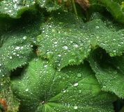 Grânulos da água nas folhas Fotos de Stock Royalty Free