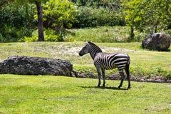 Grévy's Zebra - also known as the Imperial Zebra Royalty Free Stock Photo