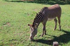 Grévy& x27; zebra di s fotografie stock libere da diritti