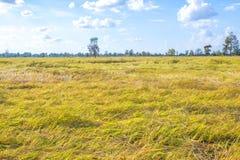 Grão amarela brilhante do arroz do thung do campo de milho Foto de Stock Royalty Free
