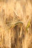 Grão amarela no campo fotografia de stock