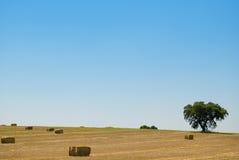 Grão amarela pronta para a colheita Fotos de Stock Royalty Free