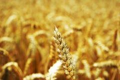 Grão amarela pronta para a colheita que cresce em um campo de exploração agrícola Fotos de Stock