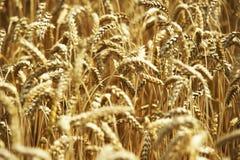 Grão amarela pronta para a colheita que cresce em um campo de exploração agrícola Foto de Stock