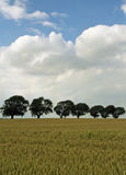 Grão-campo com as árvores na linha 2 Fotos de Stock Royalty Free