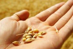 Grão crescente do fazendeiro, fundo Fotos de Stock Royalty Free