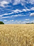 A grão da árvore do céu do prado nubla-se o amarelo azul Imagem de Stock Royalty Free