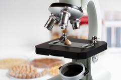 Grão-de-bico na corrediça do microscópio no laboratório para produtos alimentares imagem de stock