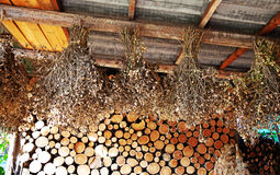 Grão-de-bico secado das plantas Foto de Stock
