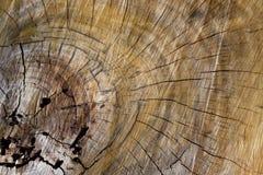 Grão de madeira com anéis de árvore do crescimento Imagens de Stock Royalty Free