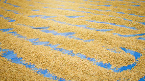 Grão de secagem da almofada ou do arroz foto de stock