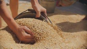 A grão derrama na cubeta As mulheres recolhem as grões da cevada em uma cubeta video estoque
