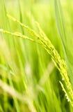 Grão do arroz fotos de stock