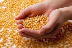 Grão do milho nas mãos (2) Imagem de Stock Royalty Free