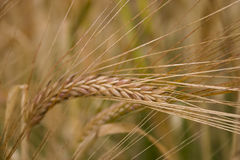 Grão do trigo Fotografia de Stock