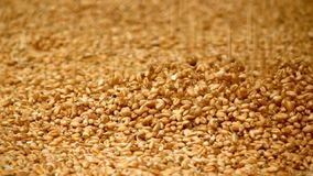 Grão do trigo video estoque