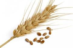 Grão e orelha do trigo fotografia de stock
