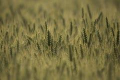 Grão em um campo de exploração agrícola Fotografia de Stock Royalty Free