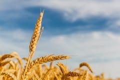 Grão em um campo de exploração agrícola imagens de stock