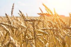 Grão em um campo e em um sol de exploração agrícola Imagens de Stock