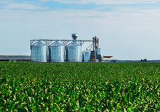 Grão no campo de milho O grupo de tanques de armazenamento cultivou a fábrica de tratamento agrícola das colheitas Foto de Stock