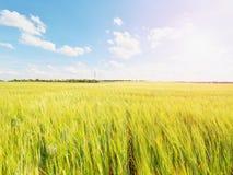 Grãos amarelos novos Shinning da cevada que crescem no campo, luz no horizonte Raios dourados de Sun na cevada Imagens de Stock