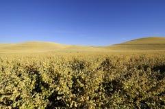 Grãos-de-bico prontos para a colheita no Palouse de Idaho Foto de Stock