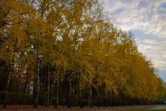 Gränd av björkar med gulnad lövverk Arkivbild