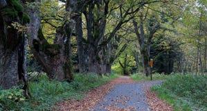 Gränd av gamla lönnar nära Nova Hurka i den Sumava nationalparken Royaltyfri Bild