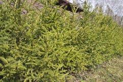 Gränd av unga gröna granar royaltyfria foton