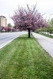 Gränd för blomningsakura träd i den Karvina staden i Tjeckien Arkivbilder