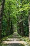 Gränd med gamla träd i en parkera san miguel azores Fotografering för Bildbyråer