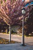 Gränd med sakura träd och en streetlight, härlig solnedgång royaltyfri bild