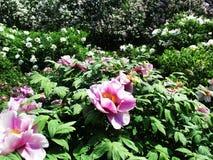 Gränden av det botaniskt parkerar med lila buskar, naturen, gräsplaner, gröna växter royaltyfri fotografi