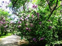 Gränden av det botaniskt parkerar med lila buskar, naturen, gräsplaner, gröna växter royaltyfria foton