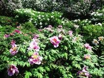Gränden av det botaniskt parkerar med lila buskar, naturen, gräsplaner, gröna växter fotografering för bildbyråer