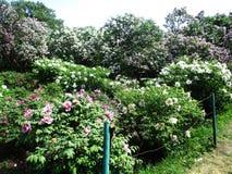 Gränden av det botaniskt parkerar med lila buskar, naturen, gräsplaner, gröna växter arkivbild