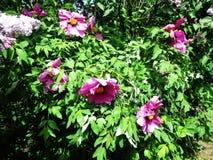 Gränden av det botaniskt parkerar med lila buskar, naturen, gräsplaner, gröna växter royaltyfri bild