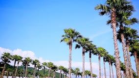 Gränder av höga härliga palmträd mot den blåa himlen Natur sommar lager videofilmer