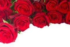 Gräns av nya karmosinröda röda trädgårds- rosor Royaltyfria Foton