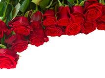 Gräns av nya karmosinröda röda trädgårds- rosor Royaltyfri Fotografi