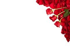Gräns av rosor som isoleras på vit Arkivbilder