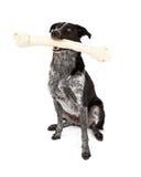 Gräns Collie Carrying Bone Arkivfoto