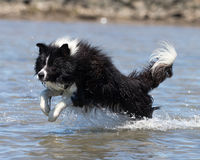 Gräns Collie Leaping In Water Royaltyfri Foto