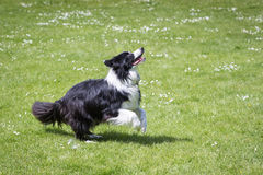 Gräns Collie Running Outdoors arkivfoto