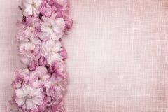 Gräns för körsbärsröda blomningar på rosa linne Arkivbilder