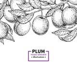 Gräns för plommonfilialtappning Hand dragen isolerad fruktram Su stock illustrationer
