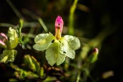 Gräns - gul kust- lös blomma västra Australien Royaltyfri Bild