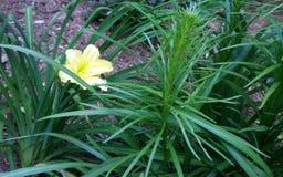 Gräns - gul vårlilja i ett fält av mörker - grön lövverk Royaltyfria Foton